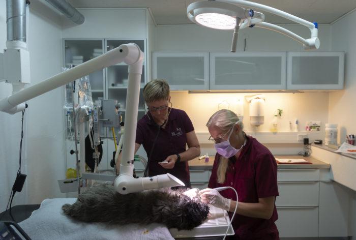 tandbehandling af kanin marienhoff dyreklinik3