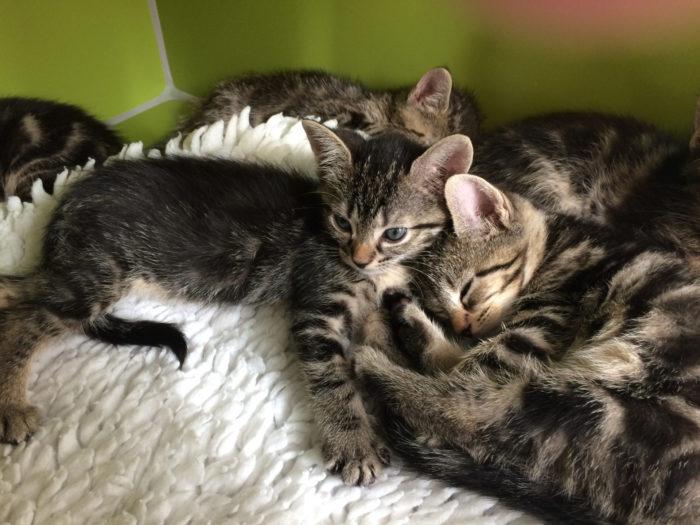 vaccination af kat marienhoff dyreklinik2